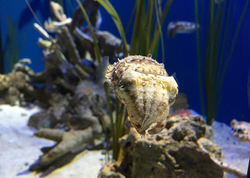 Cute cuttlefish