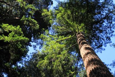 Sequoia canopy