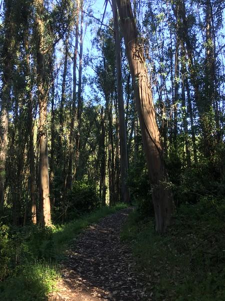 Gum trees grow better than in Auss