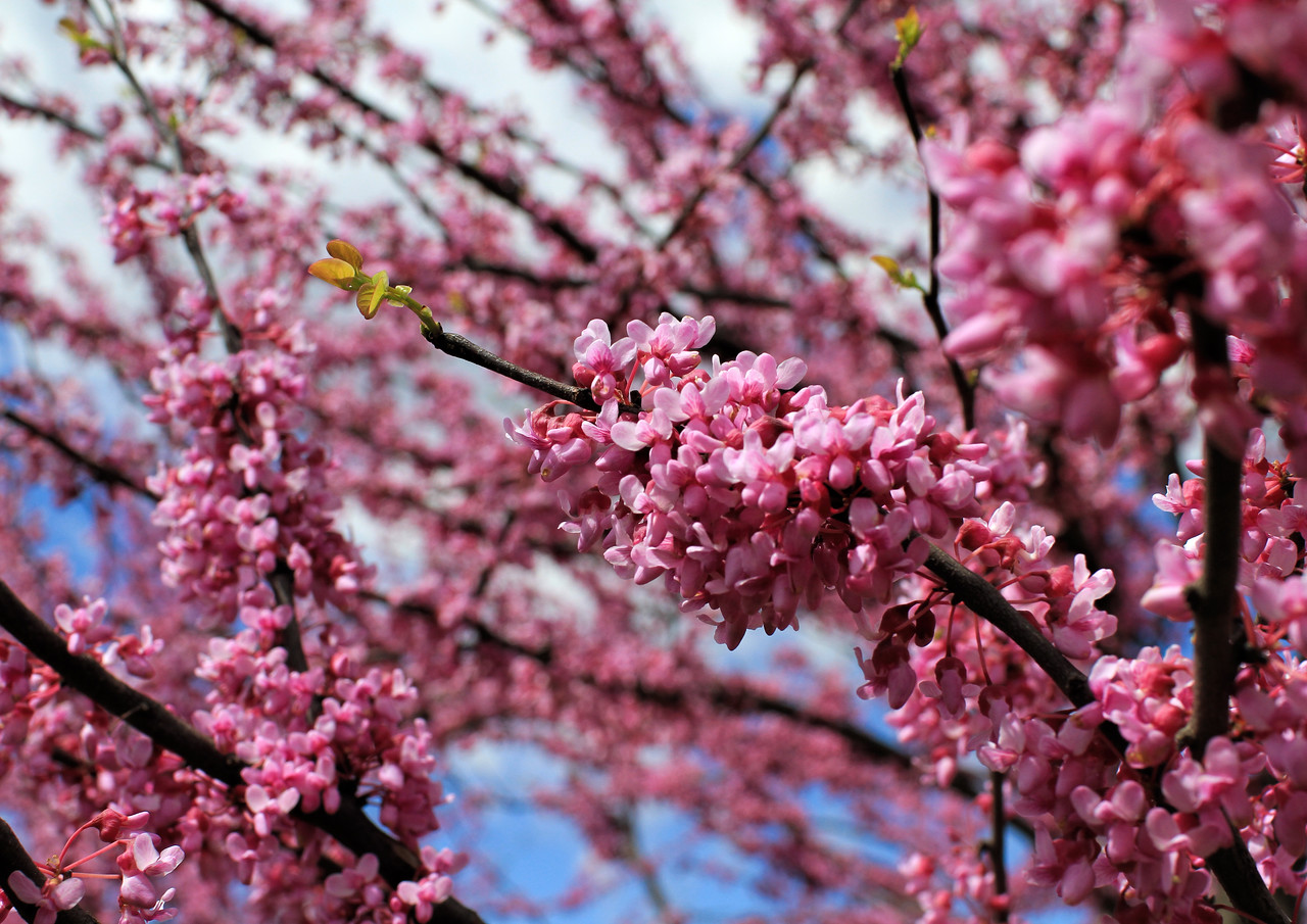 Not your ordinary cherry blossoms