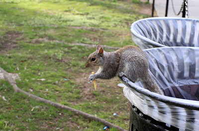 Just a squirrel eating chips from a trash can