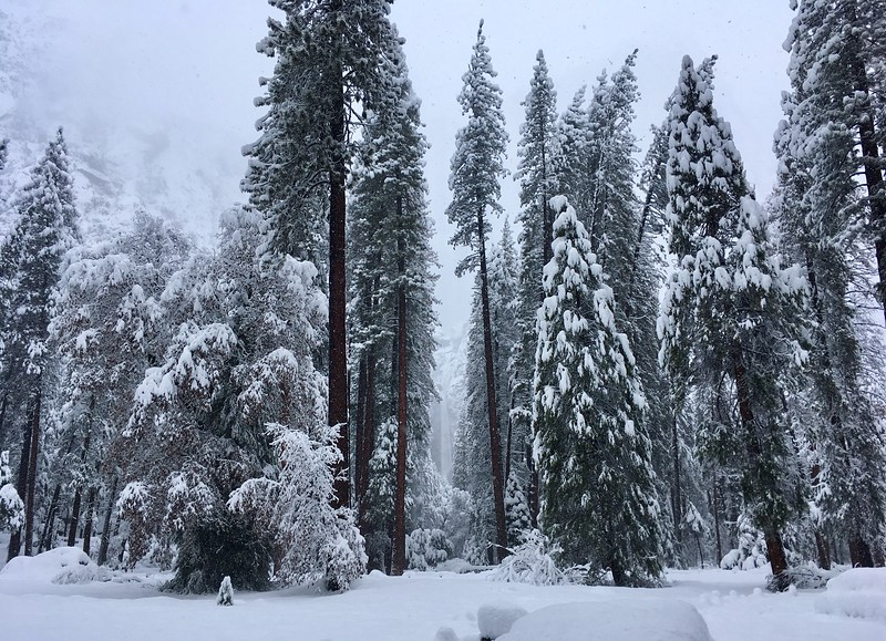 Frozen waterfalls among the frozen tree giants