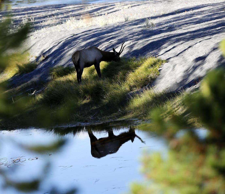 Elk reflection