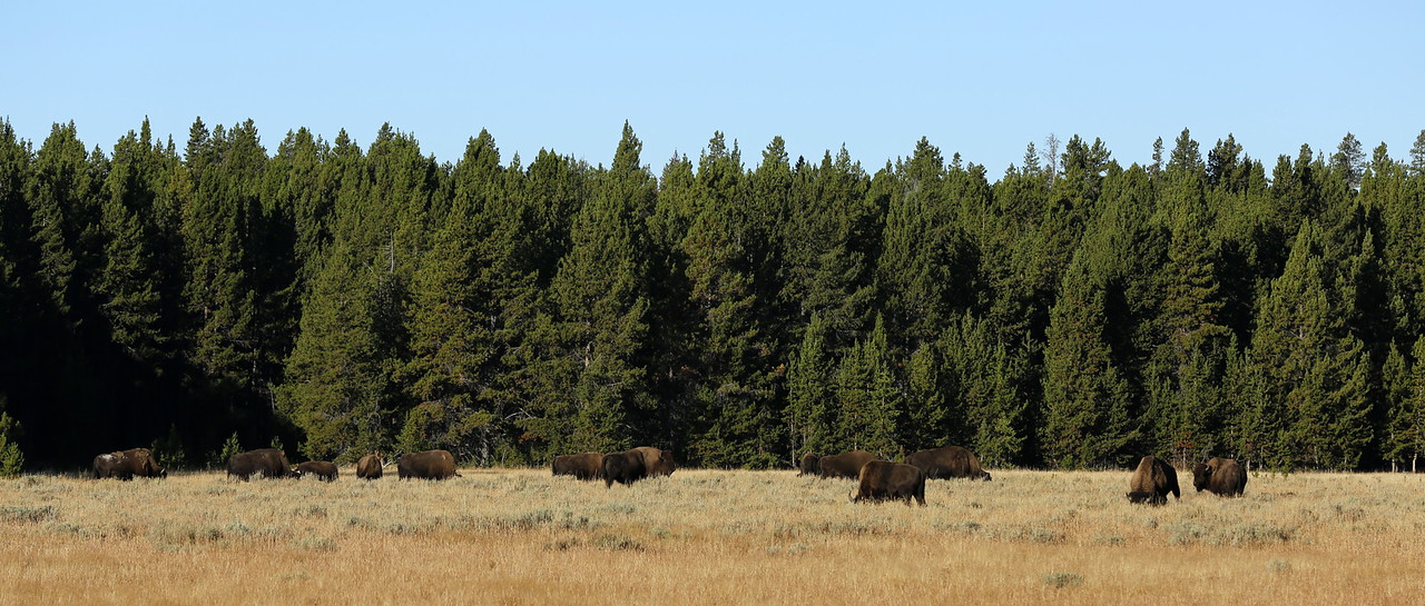 Coming across a bison herd