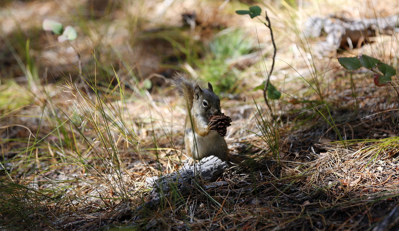 Squirrel noming on its pine cone