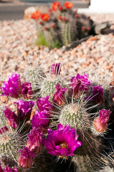 Cactus blooming in the Desert! Or rather...the RV park!