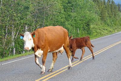 les cows daignent se pousser pour nous laisser passer