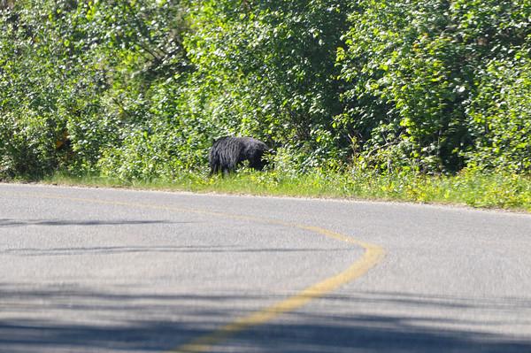 juste avant Miette, une ourse au bord de la route!!!! Branle bas de combat, !