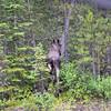 Sur le bord de la route, ( pourtant, les ours étaient presque garantis!!) on croise un orignal ( moose)