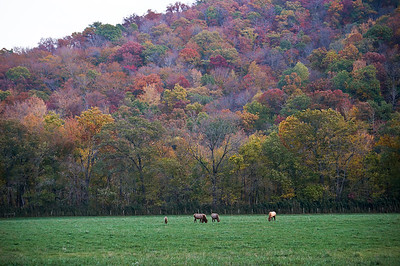 Elk Herd Grazing in Boxley Valley, Ozarks