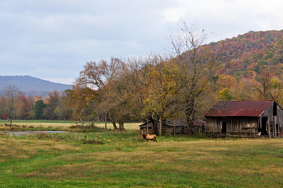 Elk Grazing in Boxley Valley, Ozarks