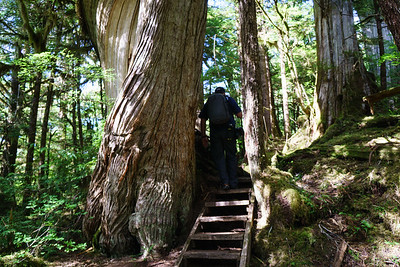 Kevin walking beside a huge old tree at Lunch Creek Trail