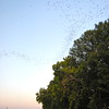 Bats galore!