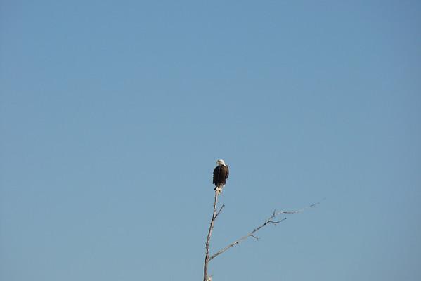 juste avant d'arriver au Park, sur le bord de la route, un bald eagle perché