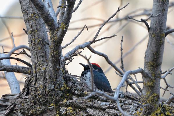 dans le parking, des woody woodpecker (les vrais, à crête rouge)