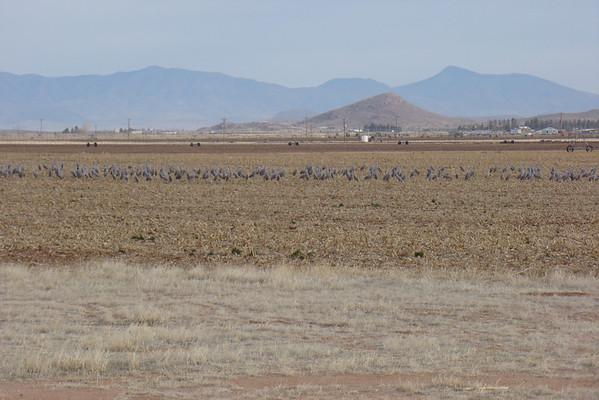 en fait, les grues nous les verrons un peu plus loin dans un champs, mais elles sont tres farouches et on ne peut pas les approcher à - de 200M