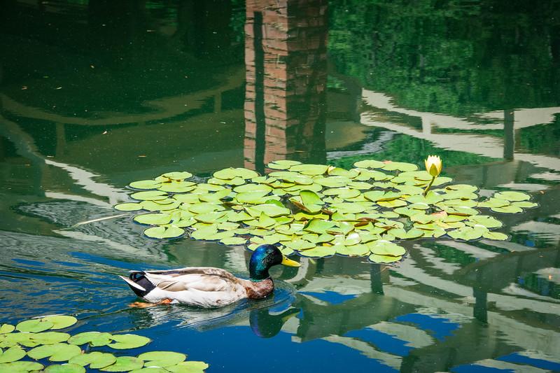 damson aquatic garden