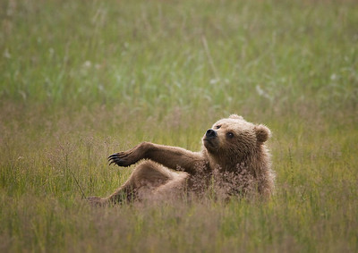 Bear ennui