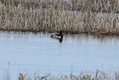 Ringnecked duck, Ringand