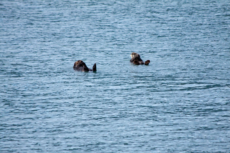 Sea otters at Kenai Fjords NP
