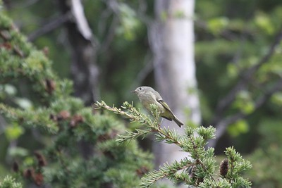 Rubycrowned kinglet