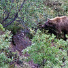 Grizzly Bear in Denali NP