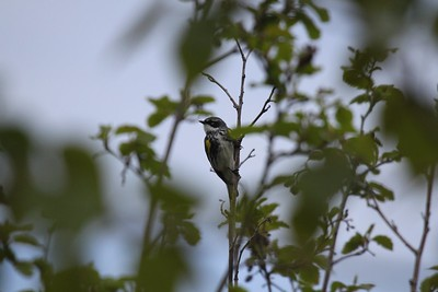 Yellowrumped warbler, Myrtle race