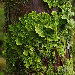 TREE LETTUCE
