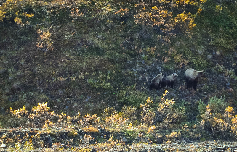 denali grizzly bears