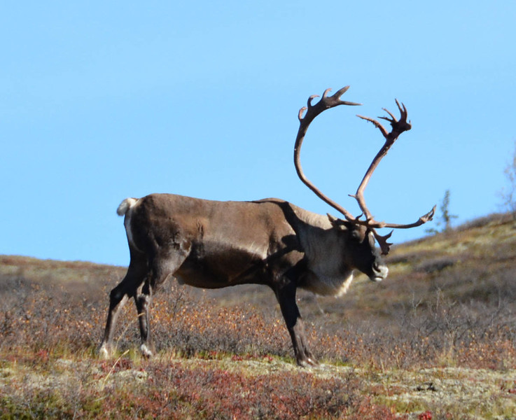 denali national park wildlife