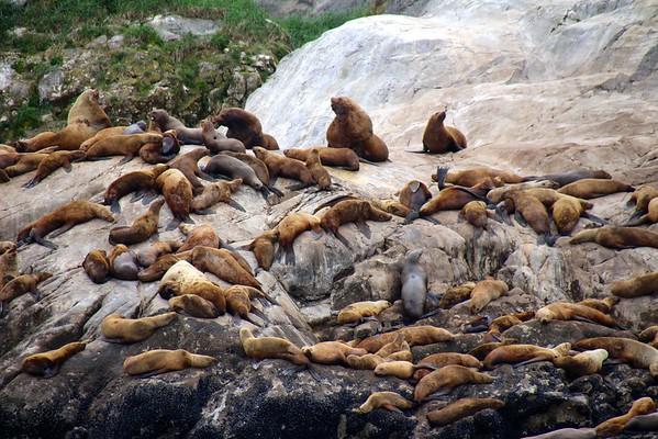 Sea Lions in Glacier Bay