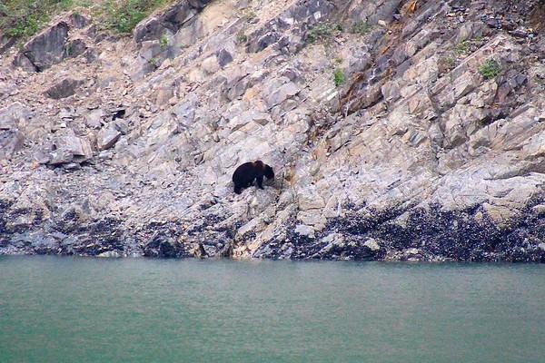 Bear in Glacier Bay