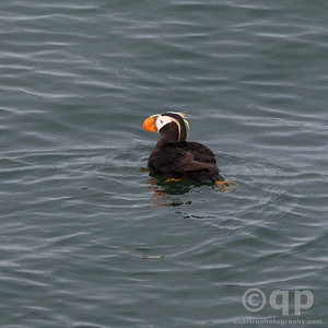 FLOATING PUFFIN