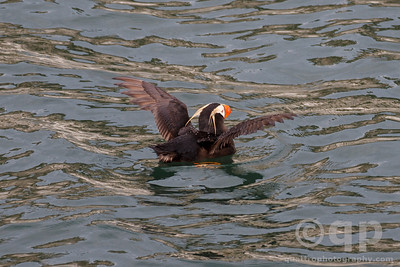 PUFFIN WINGS SPREAD
