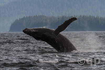 HUMPBACK WHALE BREACH 4