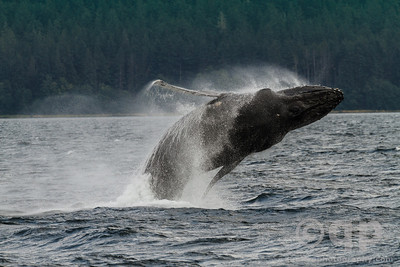 HUMPBACK WHALE BIG BREACH START