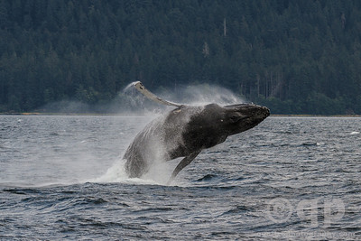 HUMPBACK WHALE FINS OUT TO SIDE