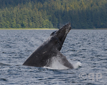 HUMPBACK WHALE BREACH 3