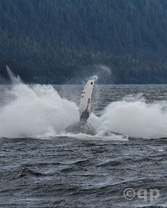 HUMPBACK WHALE BREACH BELLY LANDING