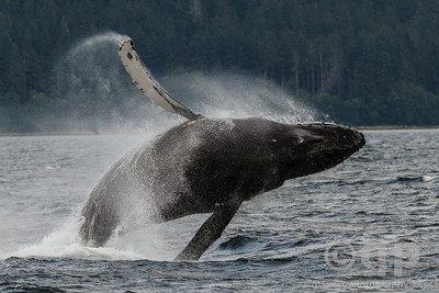 HUMPBACK WHALE BIG BREACH MIDDLE