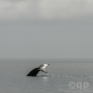 HUMPBACK WHALE TAIL SHINE
