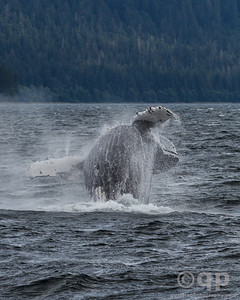 HUMPBACK WHALE BREACH BELLY END
