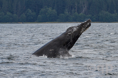 HUMPBACK WHALE HEAD OUT