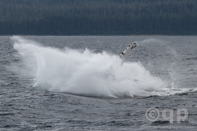 HUMPBACK WHALE SPLASH WITH FIN