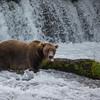 BEAR TONGUE WITH SPOTS