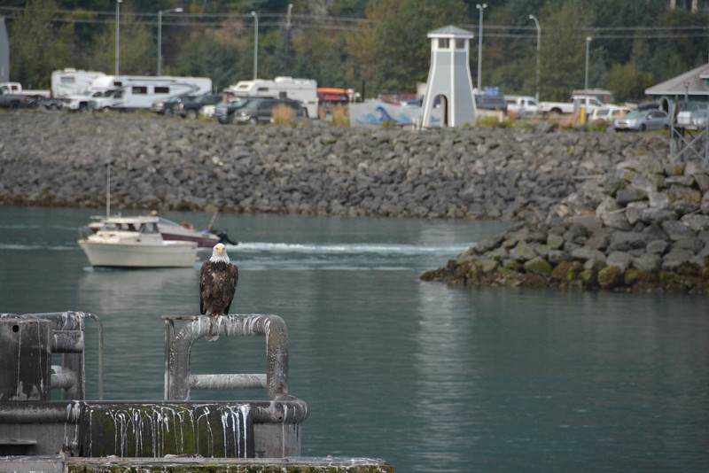 major marine tours bald eagle