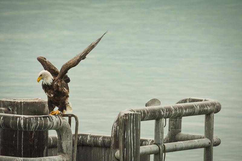 bald eagle major marine tours