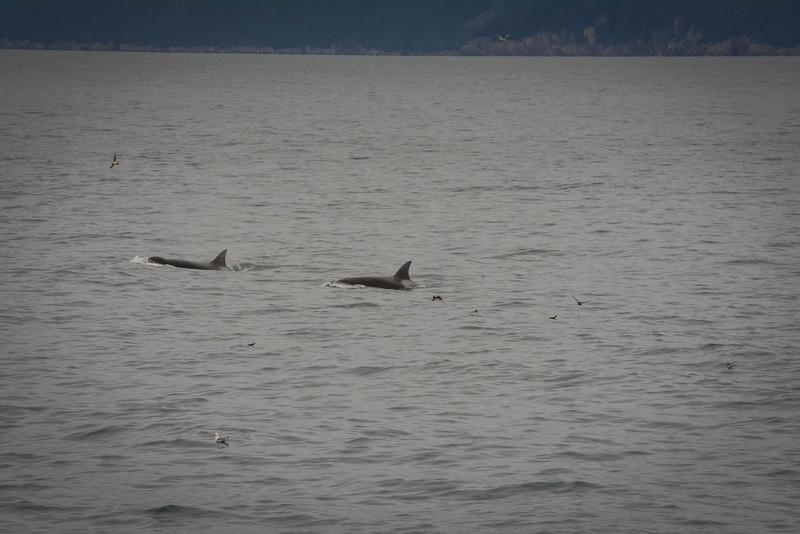 major marine tours orcas