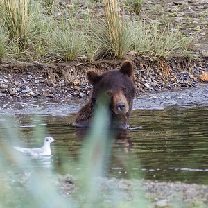 BEAR SITTING IN CREEK