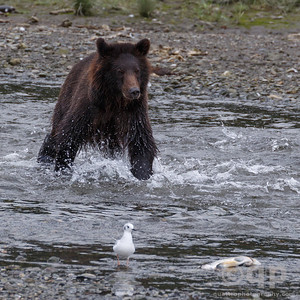 BEAR GOING AFTER SALMON